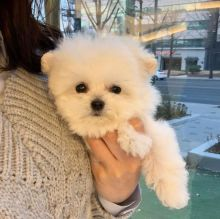 🐾💝🐾 Staggering 🐾💝🐾 Ckc Bichon Frise Puppies Available🐾💝 Image eClassifieds4U