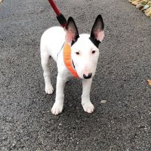 Male and female Bull Terrier puppies Image eClassifieds4u 2