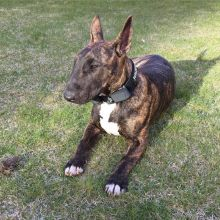 Male and female Bull Terrier puppies Image eClassifieds4u 1