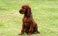 Amazing Irish Setter Puppies For Good Home. We are now