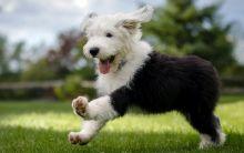 Amazing Old English Sheepdog puppies need good homes