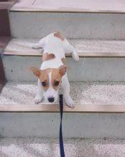 Beautiful Jack Russell Terrier