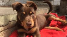 Blue eyed Kelpie puppies for adoption