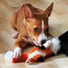 CKC registered 3 month old Basenji puppy for adoption