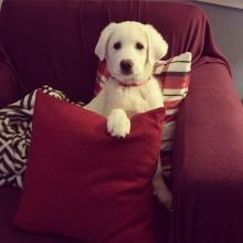 Excellent Great Pyrenees Puppies For Adoption