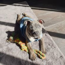 Gorgeous English Staffordshire Bull Terrier puppies available