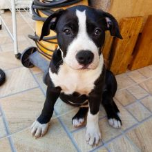 Loyal Staffordshire Bull Terrier Puppies