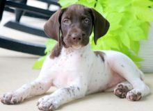 Male and Female German Shorthaired Pointer Puppies