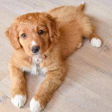 Nova Scotia Duck Tolling Retriever Puppies Available