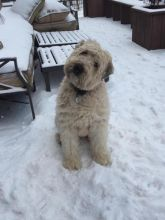 Purebred Soft Coated Wheaten Terrier Puppies Available