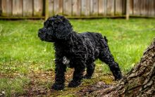 Two Portuguese Water Dog Pups Available Now