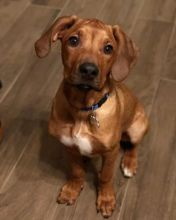 Two Rhodesian Ridgeback Puppies Available