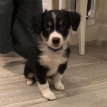 3 Months Old Australian Shepherd Pup for Re-homing