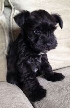 Adorable and awesome Giant Schnauzer puppies for adoption