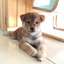 Shiba Inu Puppies for Adoption