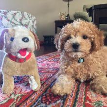 Adorable Poodle Puppy