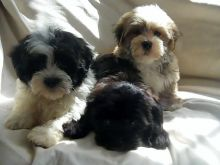 Cute Havanese Puppies Available