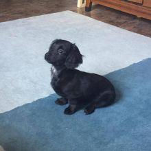 Female Dachshund Puppy