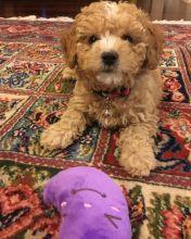 Nice Poodle 4 Re homing Image eClassifieds4U