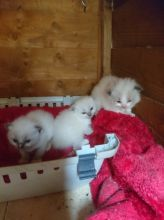 Cute Ragdoll Kittens Available