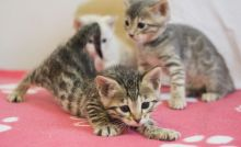 Cute Stunning Rosetted Male and Female Bengal Cats