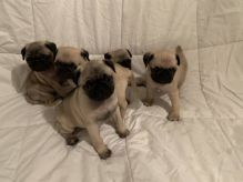 Extra Chaming Re Homing**$#! Pug Puppies Female and Male ????