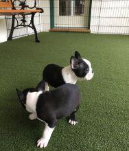 Boston Terrier puppies>>