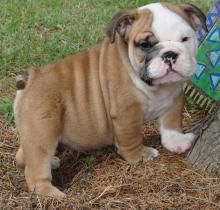 English Bulldog puppies