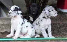 Harlequin Great Dane Puppies!