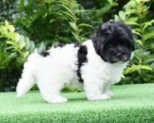 Havanese puppies email marcbradly1975@gmail.com