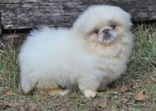 Male and female Pekingese puppies available.