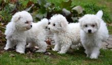 Bichon Frise Puppies Image eClassifieds4U