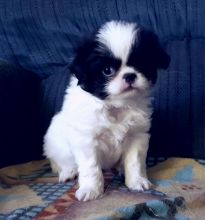 Japanese Chin Puppies For Adoption Image eClassifieds4U