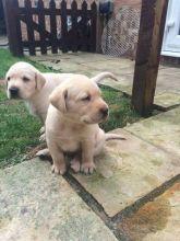 Labrador Retriever Puppies For Adoption Image eClassifieds4U
