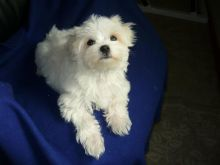 Maltese Puppies For Adoption Image eClassifieds4U