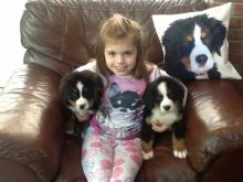 Bernese Mountain Dog Puppies Available