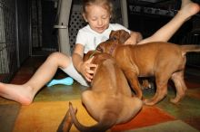 Rhodesian Ridgeback puppies ready