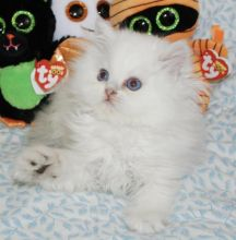 Abbotsford Persian : Cats, Kittens for Sale Classifieds at