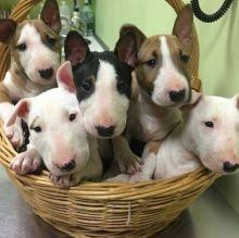 Bull Terrier Puppies ready