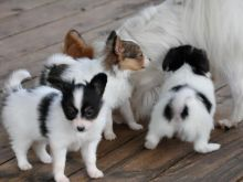 Cute Papillon puppies ready