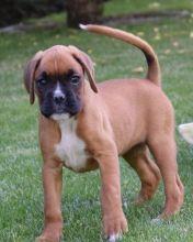 Fantastic Boxer pups for sale.