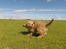 Gorgeous Goldendoodle puppies available.