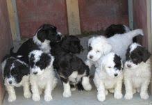 Portoguese Water Dog puppies
