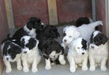 Portuguese Water Dog puppies ready