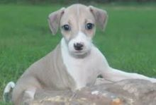 Quality Italian Greyhound Puppies