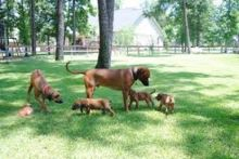 Rhodesian Ridgebeck puppies