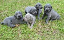 Weimaraner puppies Ready