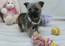 Cairn Terrier puppies ready now Image eClassifieds4u 1