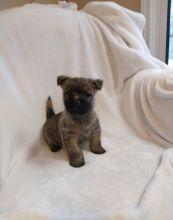 Cairn Terrier puppies ready now Image eClassifieds4u 2