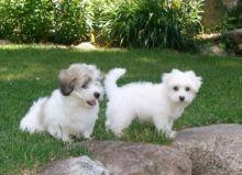 Coton De Tulear puppies Image eClassifieds4U